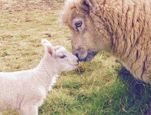 Lambing Spring 2017