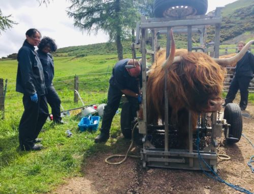 Highland Cow vet checks!